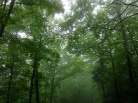 Summer trees near Lancaster, NH.