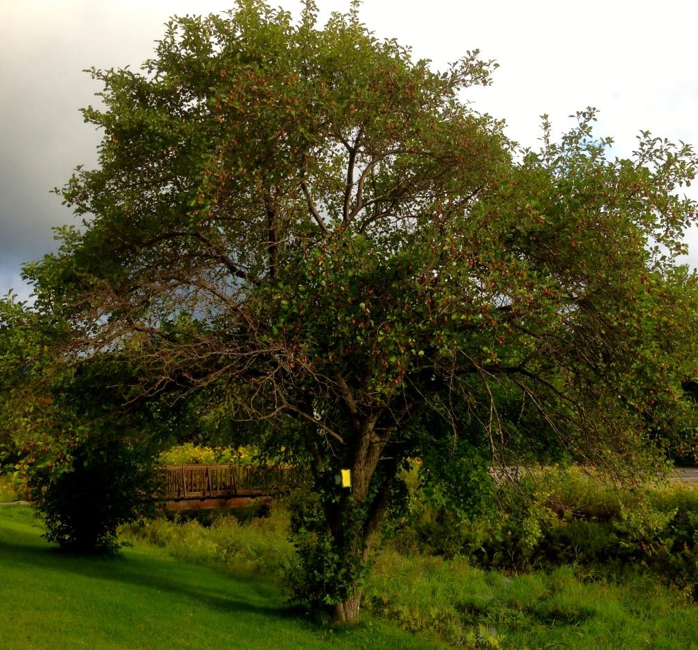 Apple tree, school parking lot, Gorham, NH.