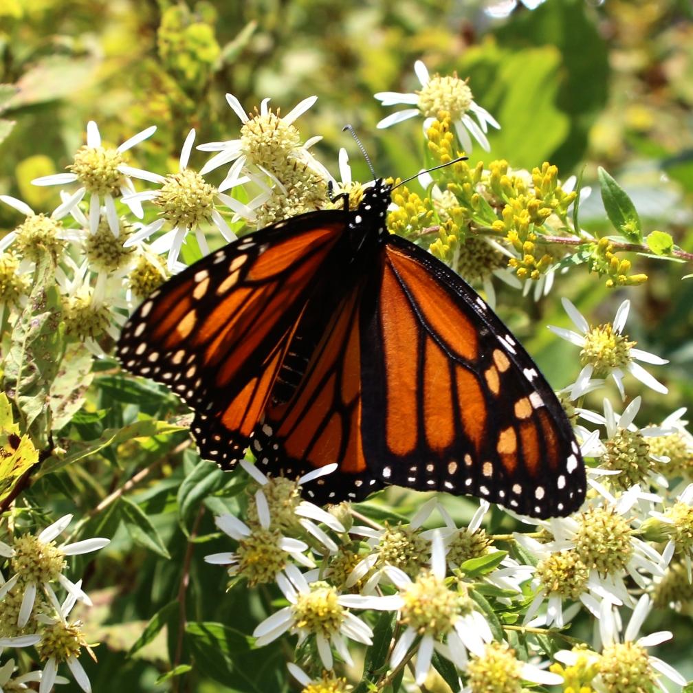 IMG_1088 Monarch butterfly (Danaus plexippus), Durand Lake, Randolph, NH.