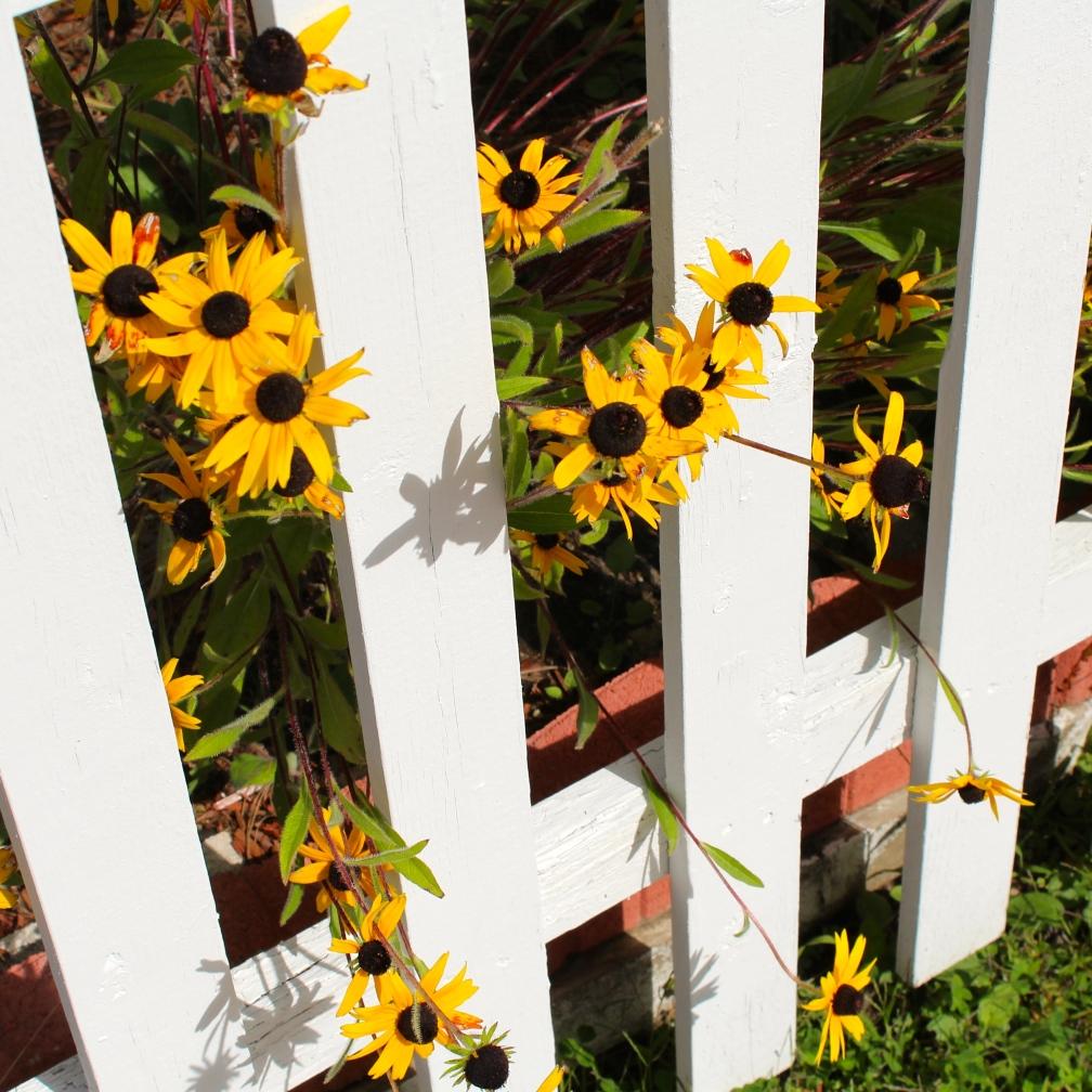 Flowers, fence, Berlin, NH.