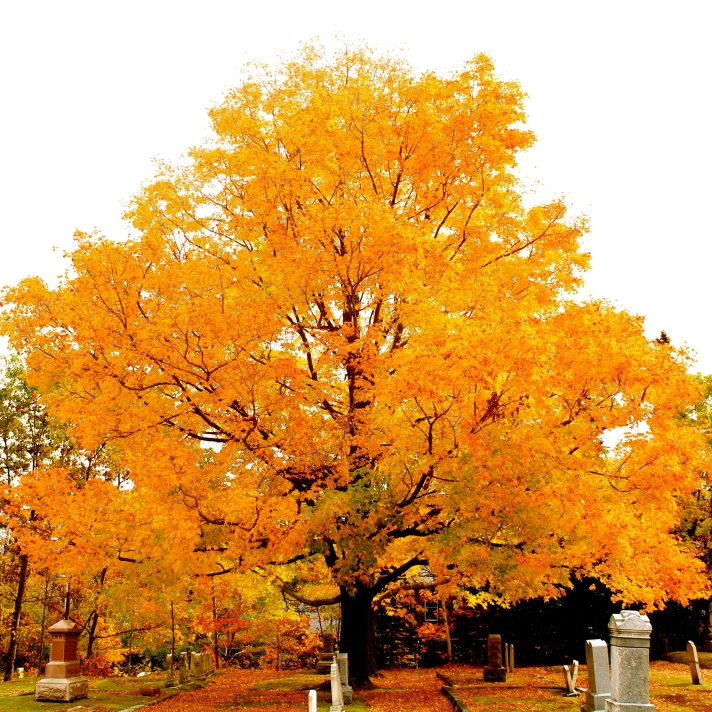 Maple tree, Evan's Cemetery, Gorham, NH.
