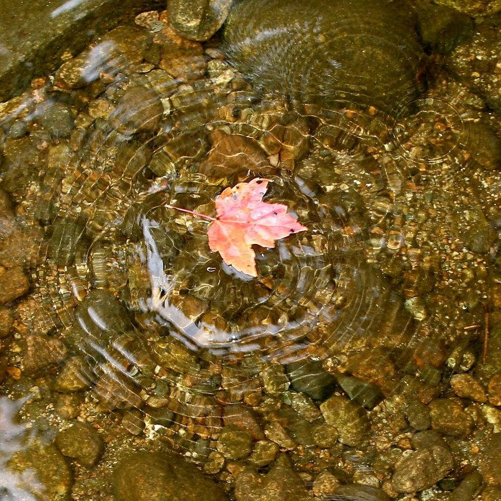 Maple leaf, Androscoggin River, Gorham, NH.