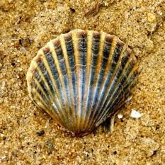 Shell, Nantucket Island.