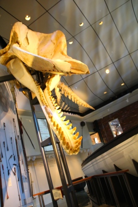 Juvenile sperm whale skeleton, from animal that died of an abcessed tooth and washed ashore in the late '90s, Nantucket Whaling Museum.