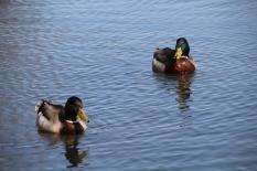 Two ducks...