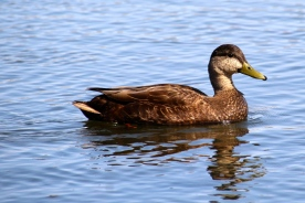 Brown duck...