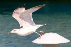 Gull taking flight, Woods Hole, MA.