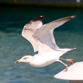 Gull, Falmouth, MA