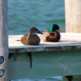 Mallards, Martha's Vineyard, MA.