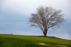 Tree at golf course, Falmouth, MA.
