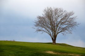Tree at golf course, Falmouth, MA.