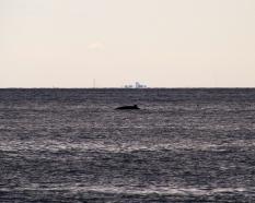 Fin whale breaching, Cape Cod Bay, MA.