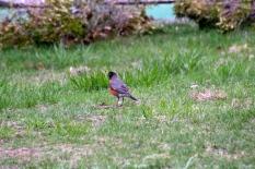Robin, Cape Cod, MA.