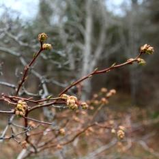Budding tree, Salt Pond, Eastham, Cape Cod, MA.