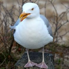 Gull, Chatham, Cape Cod, MA.