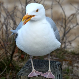 Gull, Chatham, Cape Cod, MA.