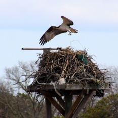 Osprey with mate in nest, Cape Cod Museum of Natural History, Brewster, Cape Cod, MA.