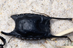 Empty skate egg case, Cape Cod Museum of Natural History, Brewster, Cape Cod, MA.