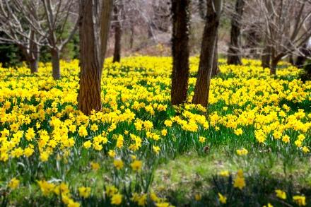 Daffodils planted in memory of Mary Christine Boyd (1976-1986), Cape Cod, MA.