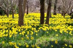 Daffodils planted in memory of Mary Christine Boyd, Cape Cod, MA.