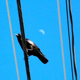 Crow on wire and crescent moon, Truro, Cape Cod, MA.
