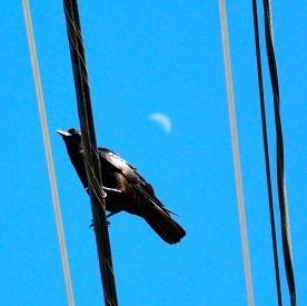 Crow on wire and crescent moon, Truro, Cape Cod, MA.