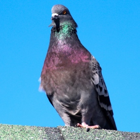 Tough pigeon, Provincetown, Cape Cod, MA.