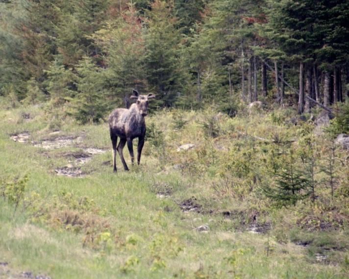 Moose by roadside, Route 16 between Milan and Erroll, NH
