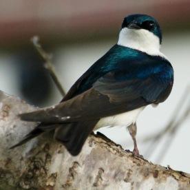 Swallow, Gorham, NH