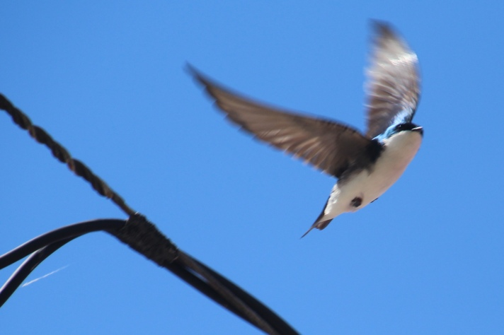 Possibly a barn swallow, Gorham, NH