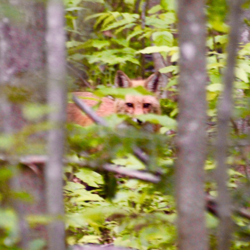 Red fox, Randolph, NH