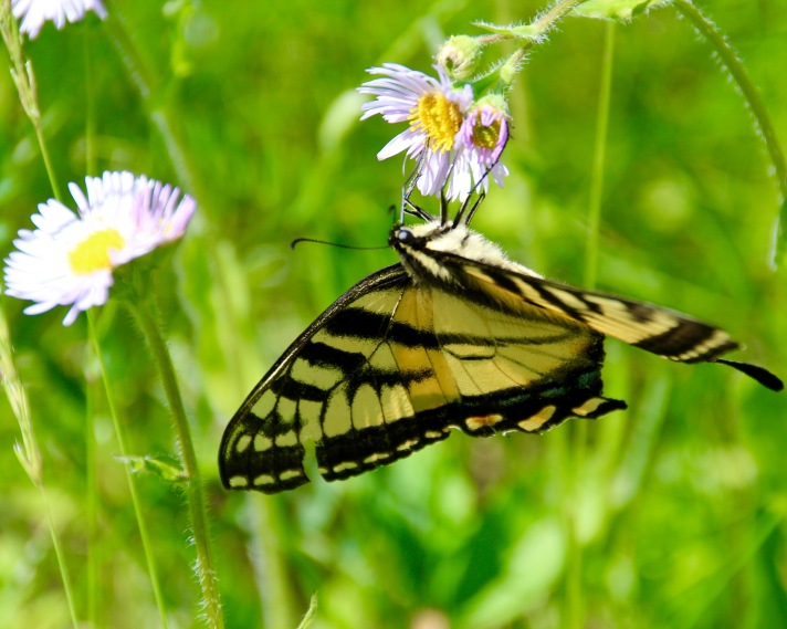 Eastern tiger swallowtail (Papilio glaucus), Littleton, NH.