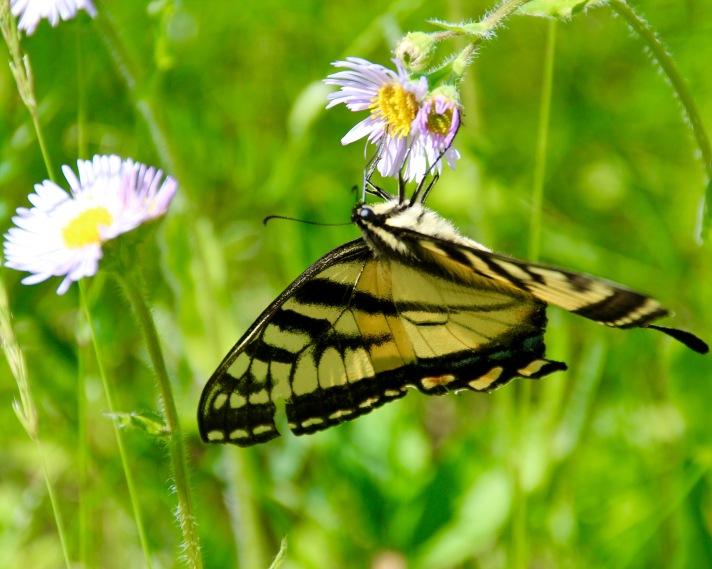 Eastern tiger swallowtail (Papilio glaucus), Littleton, NH.