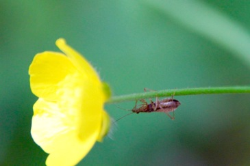 Some bug on a buttercup, Jackson, NH