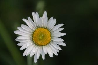 Daisy and raindrop, Gorham, NH