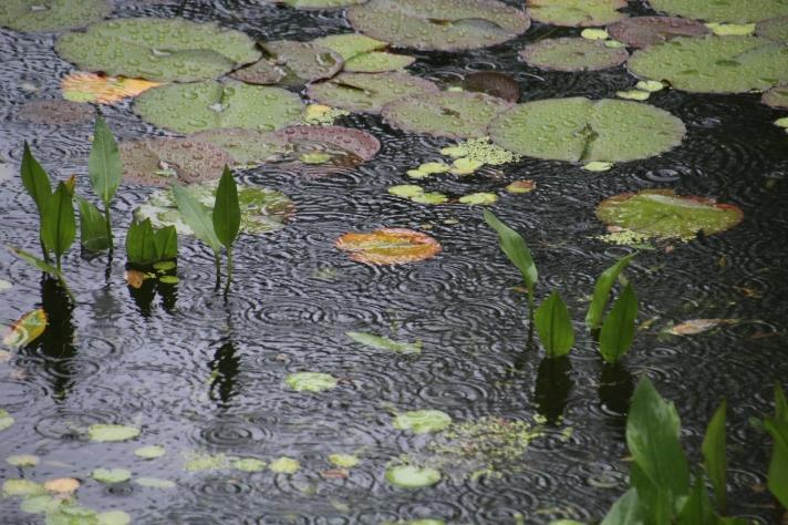 Lily pond, Annapolis Royal Botanical Gardens, Annapolis Royal, Nova Scotia
