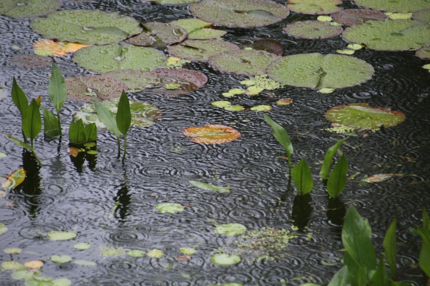 Lily pond, Annapolis Royal Botanical Gardens, Annapolis Royal, Nova Scotia