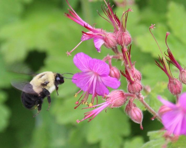 Bumblebee, Chester, Nova Scotia