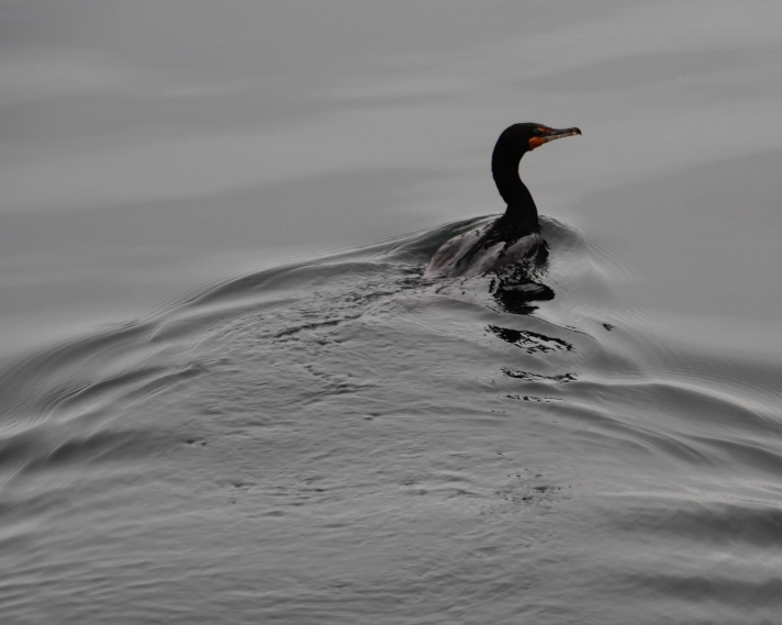 Swimming cormorant, Baddeck, Nova Scotia