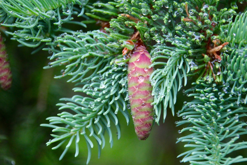 Fir cone and raindrops, Cape Breton Highlands National Park, Nova Scotia