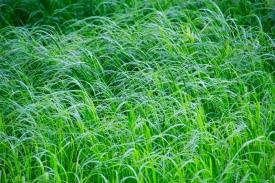 Grass, Cape Breton Island, NS
