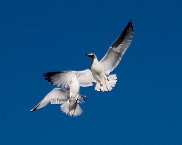 Gulls fighting over fish, Blacks Harbour, New Brunswick