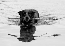 Dog fetching stick, Success Pond, NH