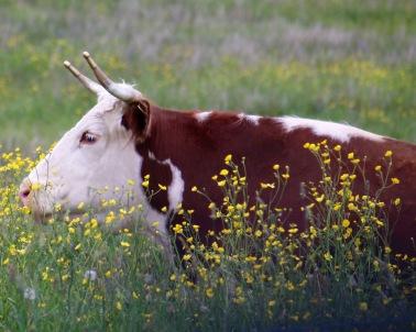 Beef cow, Southern Nova Scotia