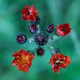 Flower cluster, Randolph, NH