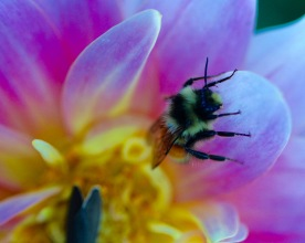 Bee in flower, Pinkham Notch, N.H., October 2015