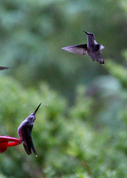 Hummingbirds at feeder, Gorham, NH.