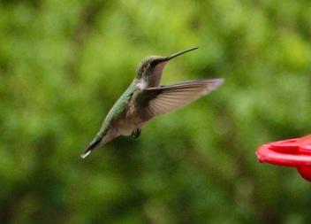 Hummingbird at feeder, Gorham, NH.