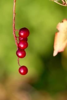 Red berries, Gorham, NH
