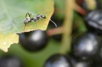 Ant on leaf over berries, Gorham, NH